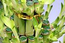 Как вырастить «бамбук счастья»