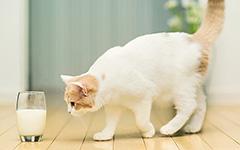 Можно ли кошке пить молоко?