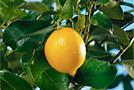 Выращиваем лимоны дома