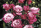 Садовые цветы и растения: Розы Орар, История любви