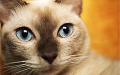 Рвота у кошек: Ой, кошечки, тошни-ит…